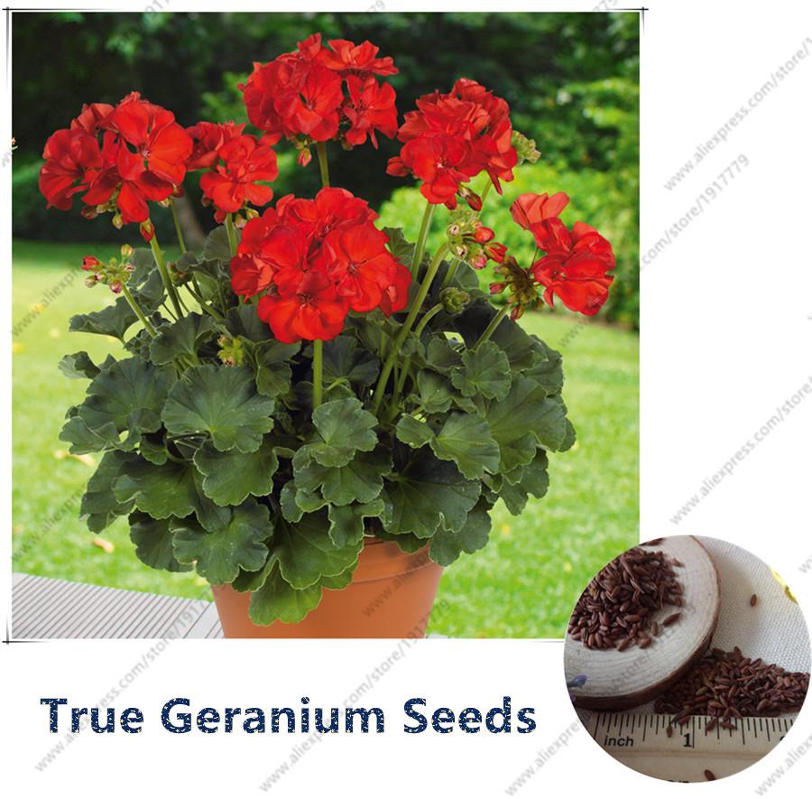 Achetez en gros g ranium semences en ligne des - Graine de geranium ...