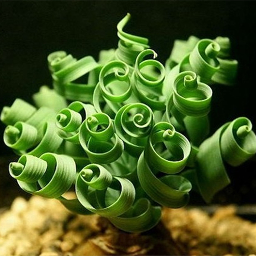 2015 Free shipping 100 Spring grass seeds Succulents plant Grass seeds DIY bonsai Potted Garden Home Exotic Plant Interesting(China (Mainland))