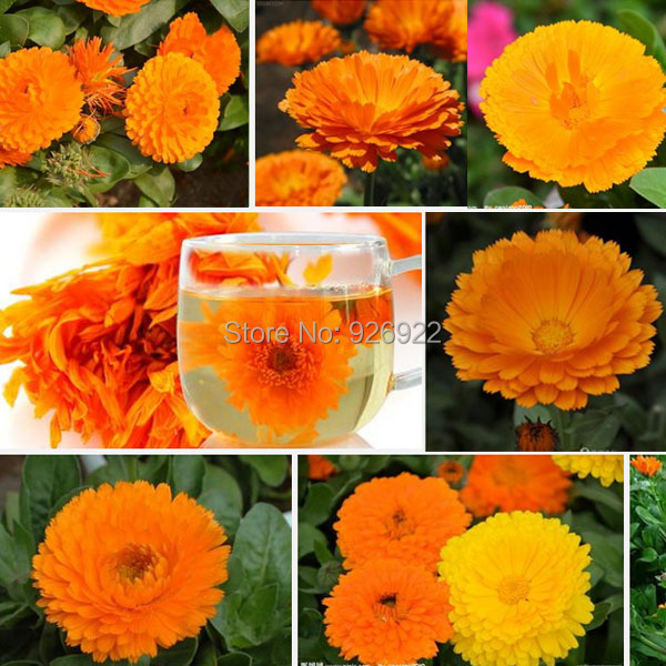Calendula seeds, pot marigold, potted flower seeds free shipping,about 50 particles(China (Mainland))