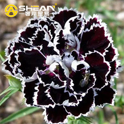 A Pack 200 Pcs Black Carnation Seeds Balcony Potted Courtyard Garden Plants Seeds Rose Dianthus Caryophyllus Flower Seed(China (Mainland))