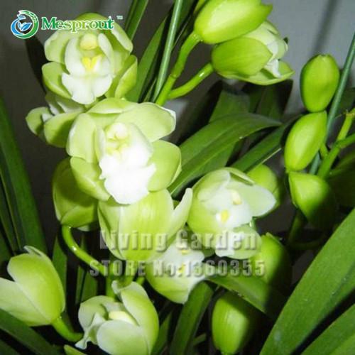 100 PCS White Cymbidium Seeds Garden Terrace Orchid Bonsai Seeds Bonsai Plant Garden Orchid Flowers(China (Mainland))