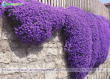 Flower seeds 100 Aubrieta Seeds - Cascade Purple FLOWER SEEDS, Superb perennial ground cover , flower seeds for home garden(China (Mainland))