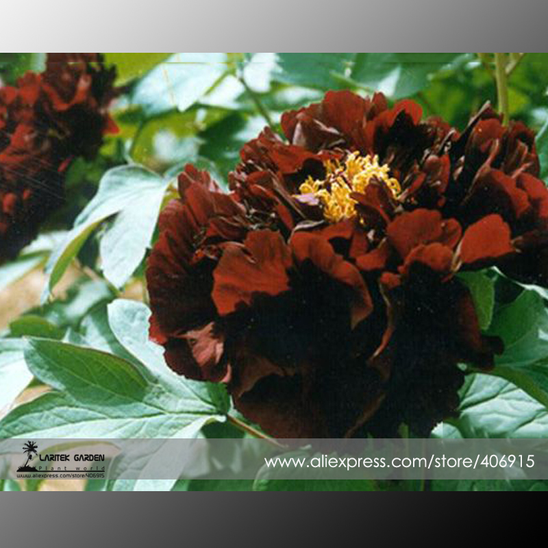 Rare 'Guan Shi Mo Yu' Coffee Peony Tree Flower Seeds, Professional Pack, 5 Seeds / Pack, Strong Fragrant E3367(China (Mainland))