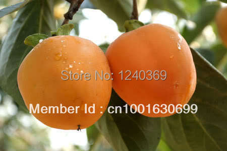 Persimmon fruit seeds, fresh 60 - ALI-Express No.1 store