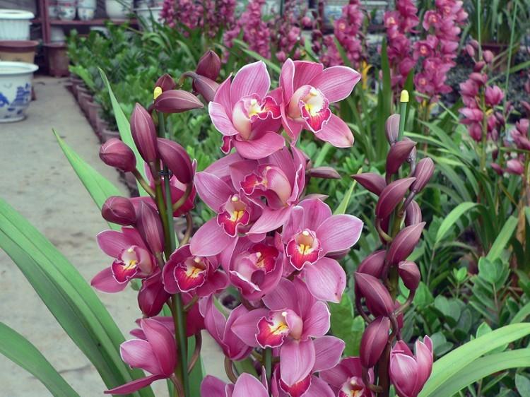 "Garden plants Chinese flowers ""Orchid"" Cymbidium seeds - CelineBridal Dresses 2 store"