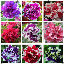 Petunia petals, annuals, Four Seasons can be planted 10 kinds of colors, this is 100% correct seed, true seeds, 200pcs/bag