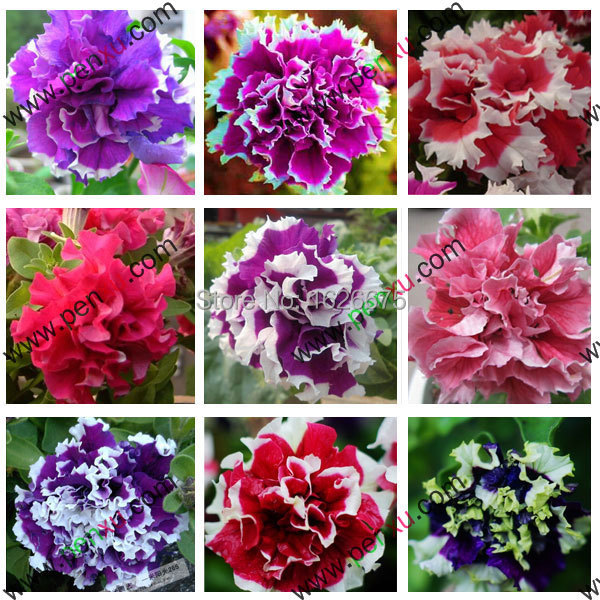 Petunia Petals,Annuals,Four Seasons Can Be Planted 10 Kinds of Colors,This Is 100% Correct Seed,True Seeds,200pcs/bag(China (Mainland))