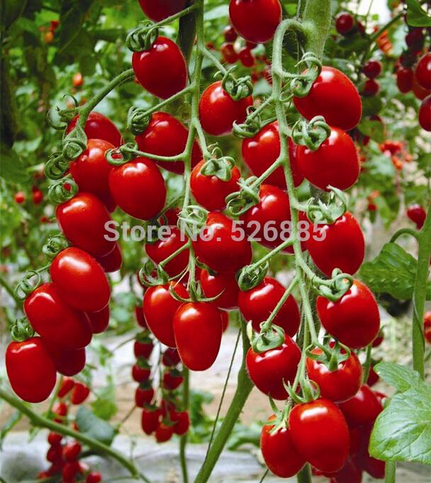Milk red tomato seeds cherry tomatoes tomato seeds organic fruits and vegetables 20 Seed particles