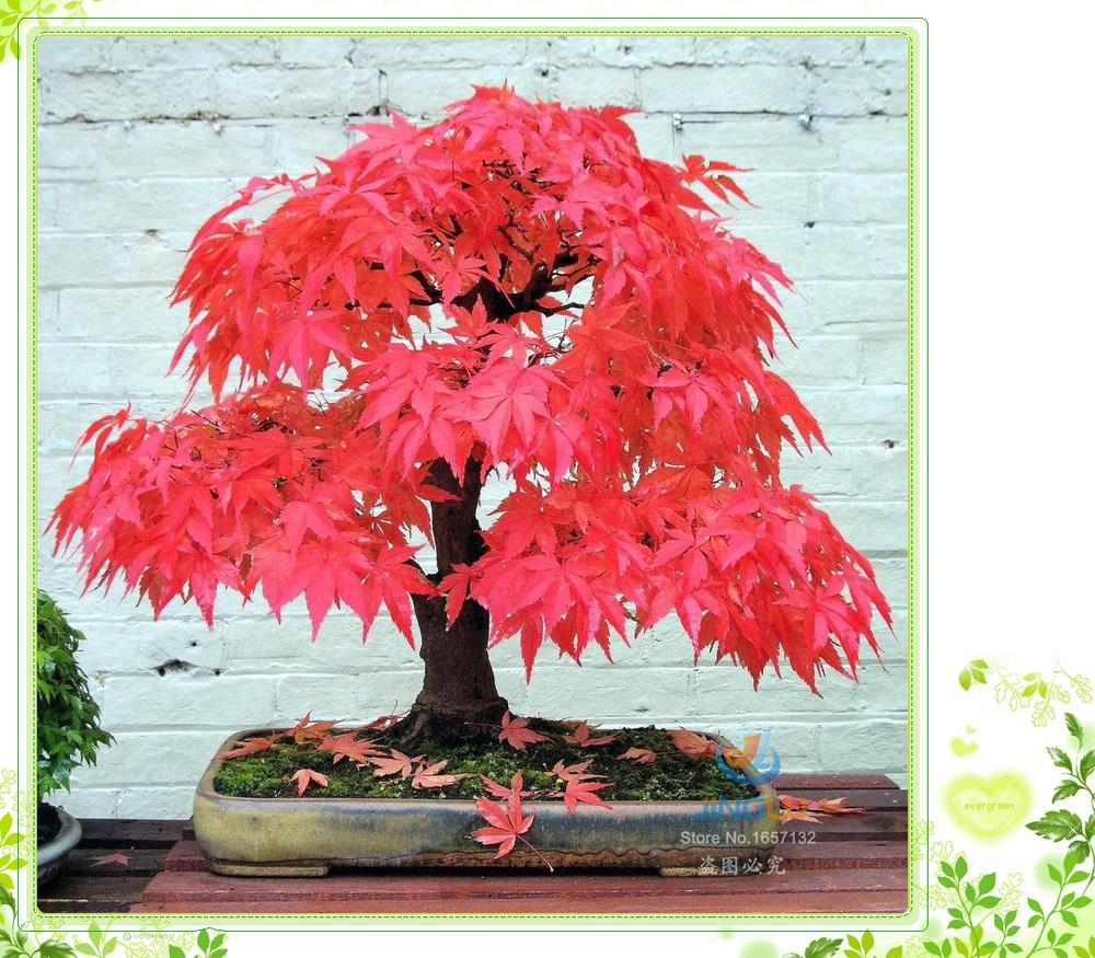 200 Seeds / Pack , Potted Plant Seeds American Blood Red Maple Tree Seeds Bonsai Home & Garden(China (Mainland))