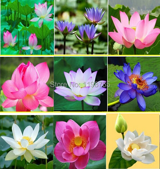 20pcs 10 kinds bowl Lotus seeds bonsai lotus flower plants water lily lotus seed Aquatic plants How to Plant home Garden(China (Mainland))