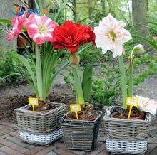 Amaryllis Seeds, Free Shipping Cheap Amaryllis Seeds, Barbados Lily Potted Seed, Bonsai Balcony Flower - 100 Pcs/bag