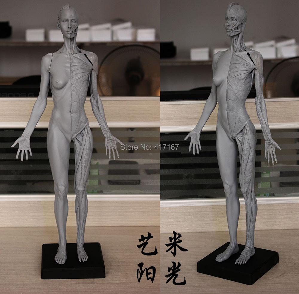 human body model 60cm Female muscle anatomy painting model grey(China (Mainland))