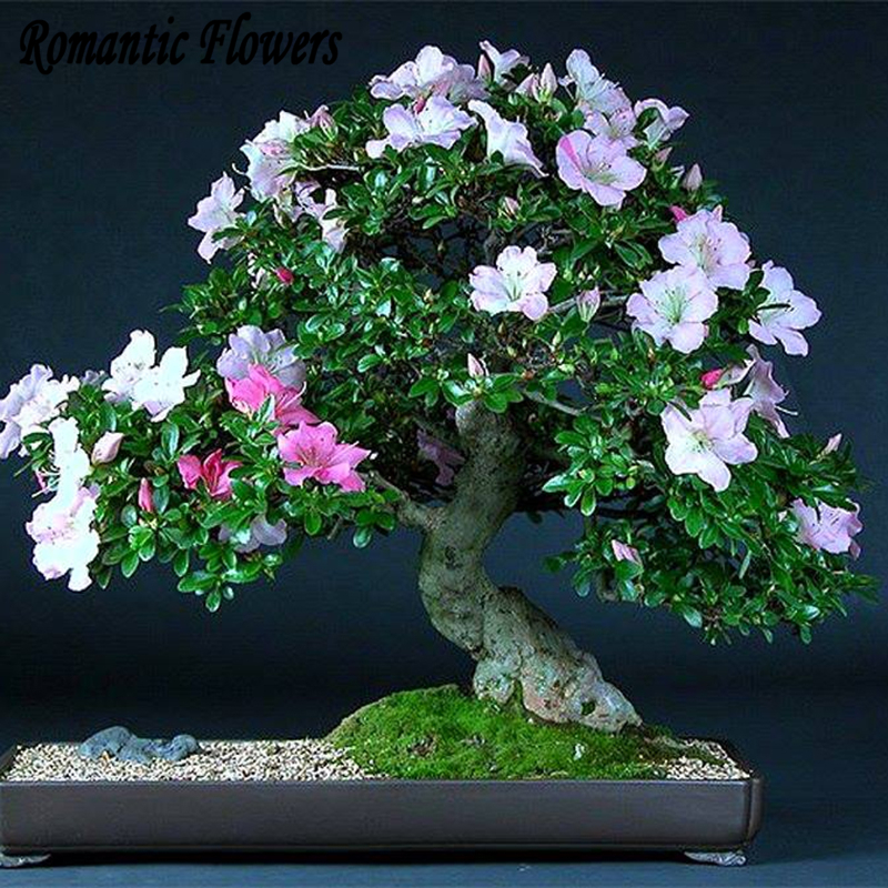 Online buy wholesale potted azaleas from china potted azaleas wholesalers - Flowers that bloom all year round ...