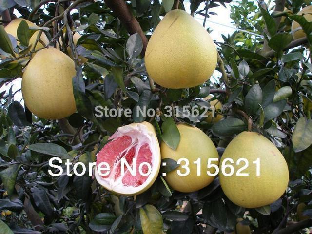 Pomelo sementes vermelho Grapefruit Shaddock grande gosto sementes de 30 pcs Orchard casa jardinagem