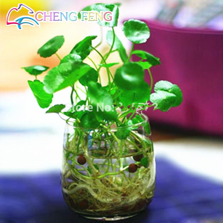 30pcs/lot Hydroponics Flower Aquarium Grass Plants Penny Grass Seeds, Best Indoor Bonsai Plant Hydrocotyle Vulgaris Seeds(China (Mainland))