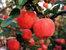 Free Shiping Bonsai Fuji Apple Tree Seeds, (60 pieces Fresh Apple seeds), PLUS MYSTERIOUS seeds(China (Mainland))