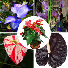 anthurium blue seed, anthurium andraeanu seeds, indoor potted flowers Anthurium plant 100 particles / bag