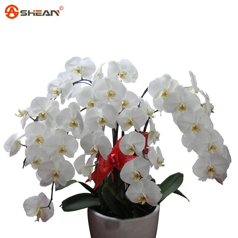 Achetez en gros phalaenopsis orchid e plante en ligne des grossistes phalaenopsis orchid e - Arrosage orchidee d interieur ...
