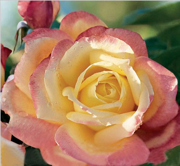 1 professional pack 50 seeds pack new bella roma rose. Black Bedroom Furniture Sets. Home Design Ideas