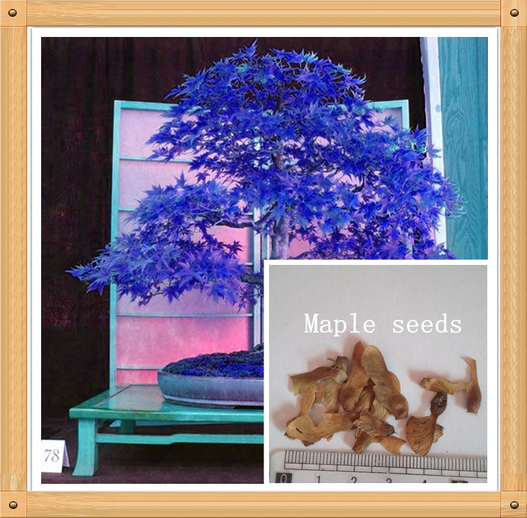 10PC Rare Aqua Blue Maple Seed. The color of new varieties of Plants Naturally Grown Bonsai Tree Naturally Formed(China (Mainland))