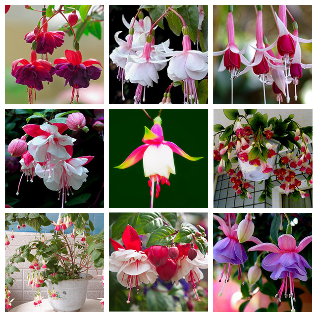 9 Kinds of Fuchsia Perennial Flower Seeds Can be Choose Potted Flowers DIY Planting Flowers Bell Flower Seeds - 100 PCS(China (Mainland))