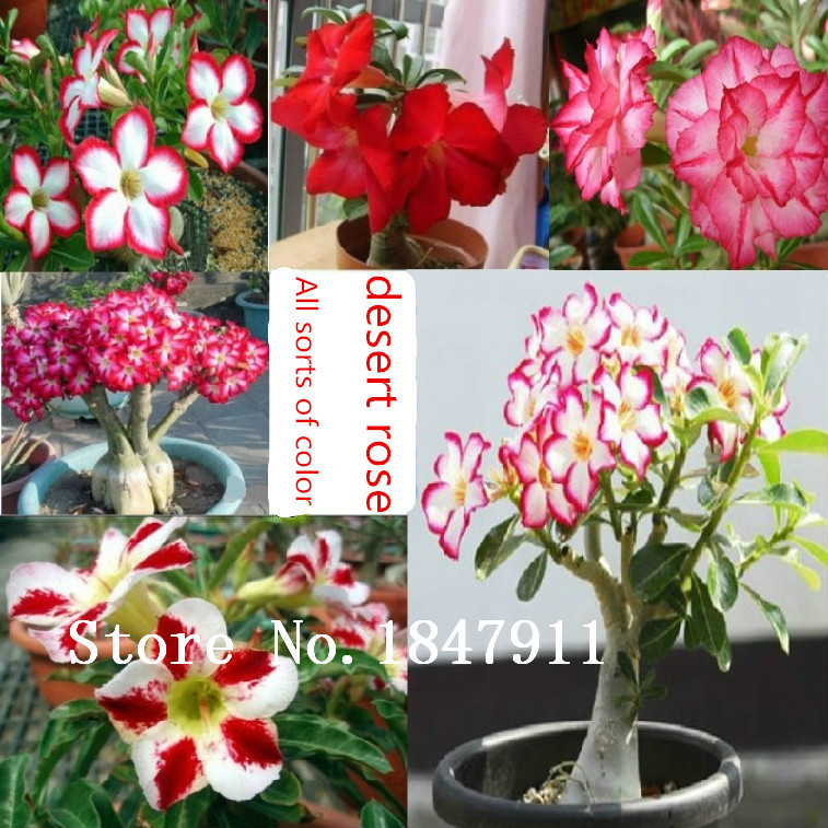 500pc/lot Flower pots planters rainbow rose seeds Bonsai plants Seeds for home & garden(China (Mainland))