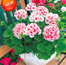 New Seeds 2015!20 PCS/Pack Pale Pink Univalve Geranium Seeds, Perennial Flower Seeds Pelargonium Peltatum Flowers for Rooms,#JP0(China (Mainland))