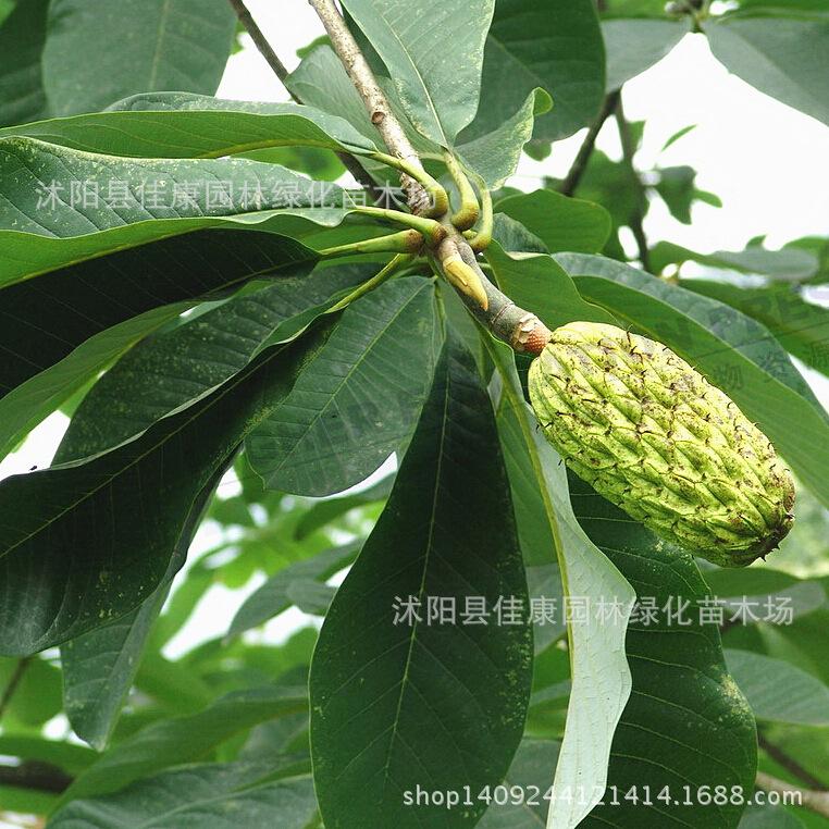 Compra r o granja online al por mayor de china mayoristas - Semilla de magnolia ...