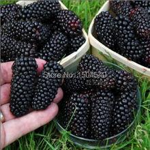 100nutritious Pre-Stratified Jumbo Thornless Blackberry Seeds juicy  sweet healthy fruit DIY Home Garden Fruit Seeds(China (Mainland))
