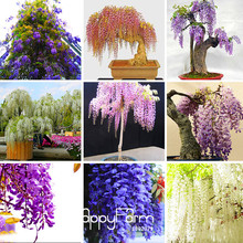 Big Sale!Five Different Rare Mini Bonsai Wisteria Tree Seeds Indoor Ornamental Plants Seeds 10PCS/Bag,#2M5A6P(China (Mainland))