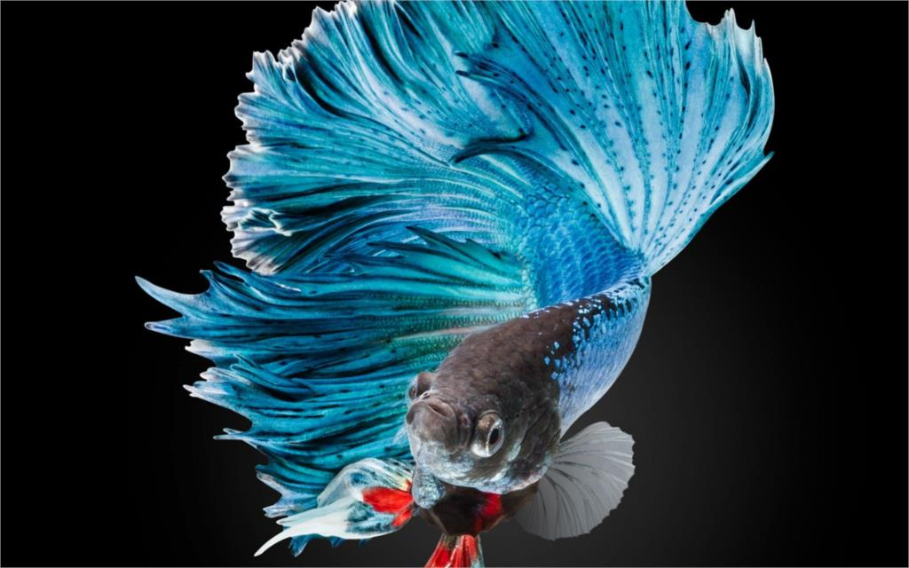 Popular fighting fish buy cheap fighting fish lots from for Cheap betta fish