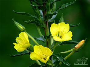 1kg natural scabish extract sundrops extract scurvish extract evening primrose extract powder