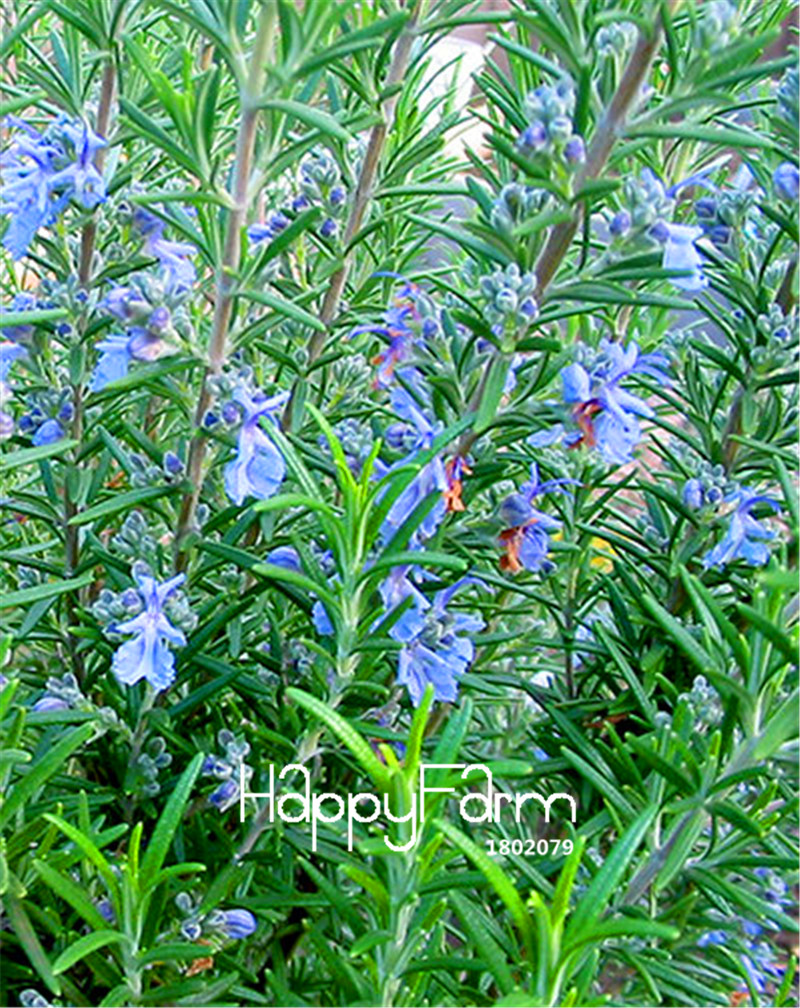 Online buy wholesale rosemary plants from china rosemary for New garden plants
