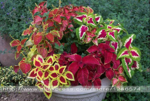 Hot selling 30pcs Coleus grass seed bonsai flower ...
