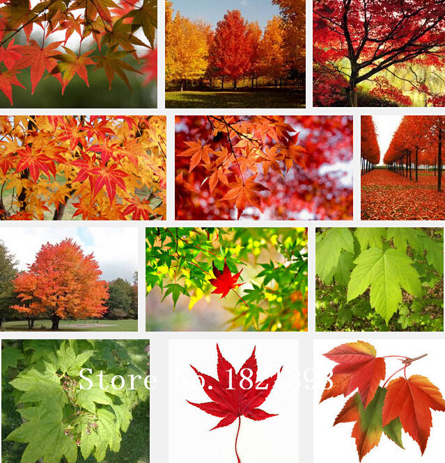 Red Yellow Orange Red Maple Tree Seeds, Professional Pack, 50Seeds / Pack, Acer Japan China America Maple Tree #NF580(China (Mainland))