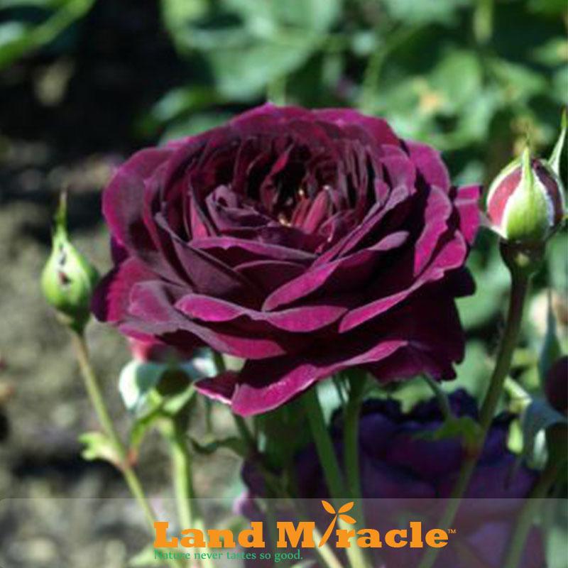 циния фиолетовая фея