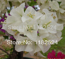 Buy Sale Special Offer Bougainvillea Spectabilis Wind Sementes Seeds 50 Seeds * Bougainvillea Spectabilis Willd Bonsai Plant for $1.23 in AliExpress store