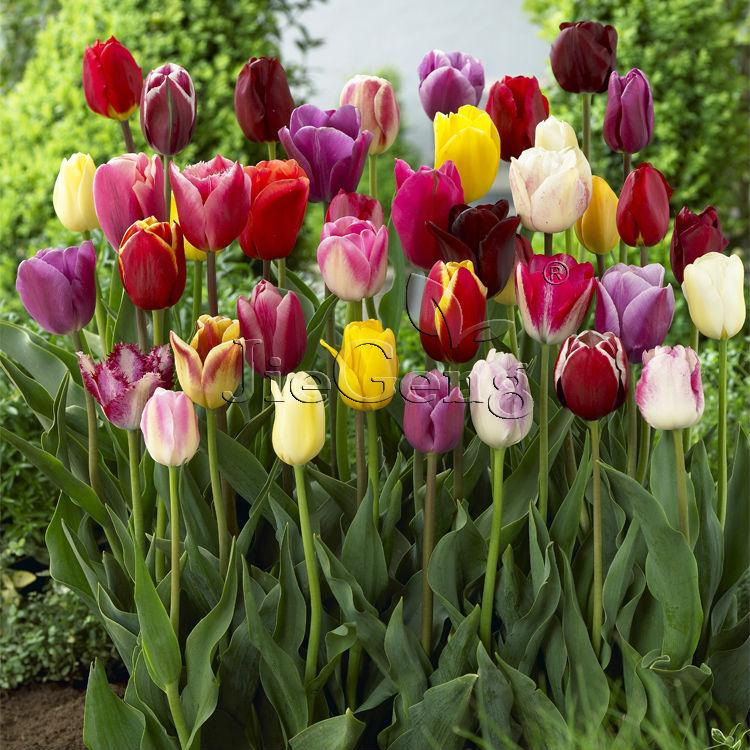 Луковицы цветов на заказ доставка цветов подсолнухи санкт петербург