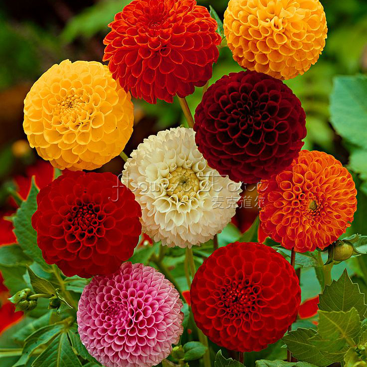 100 Bright Color Cutflower Dahlia Seeds of garden flowers Early Blooming flower Wedding Decoration Free Shipping(China (Mainland))