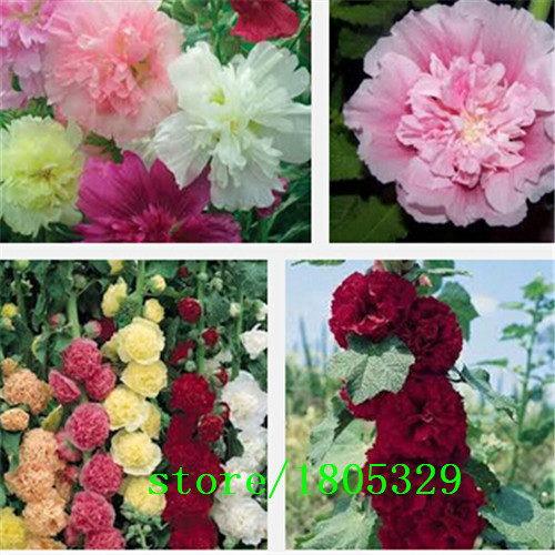 Original Pack 100 Seeds / Pack,Hollyhock seeds,Althaea rosea,Balcony flower plants, potted plant seeds(China (Mainland))
