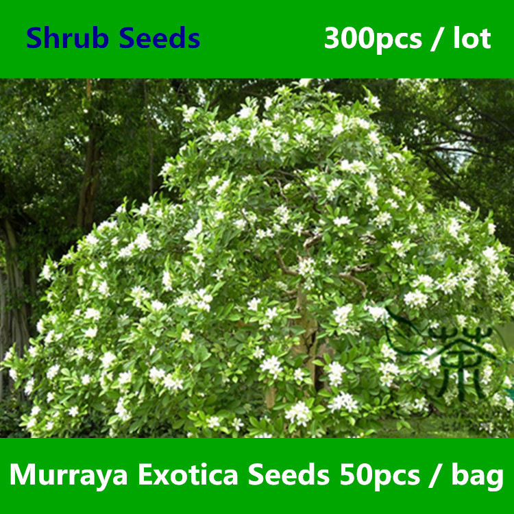Mock Orange Murraya Exotica Seeds 300pcs, Murraya Paniculata Orange Jessamine Seeds, Much Loved Satinwood Lakeview Jasmine Seeds(China (Mainland))