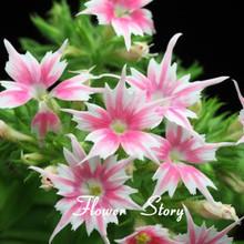 New Arrival Home Garden Plant 100 Seeds PHLOX TWINKLE STAR,Phlox Drummondii Cuspidata Flower Seeds(China (Mainland))