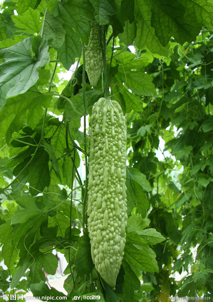 10seeds/bag Courtyard Balcony Potted Vegetable, Fruit And Seed Taiwan Four Seasons Long Green Bitter Melon Seeds, Free Shipping(China (Mainland))