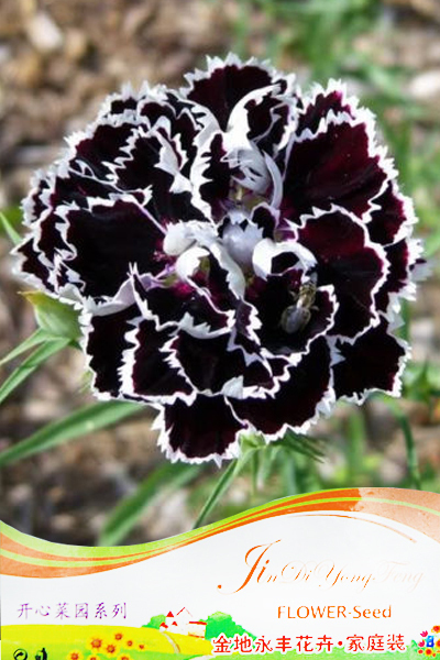 approx 50 Seeds / Pack, Fresh Seeds of Rare White Black Carnation Flower Seeds ,Dianthus Chinensis for home & garden(China (Mainland))