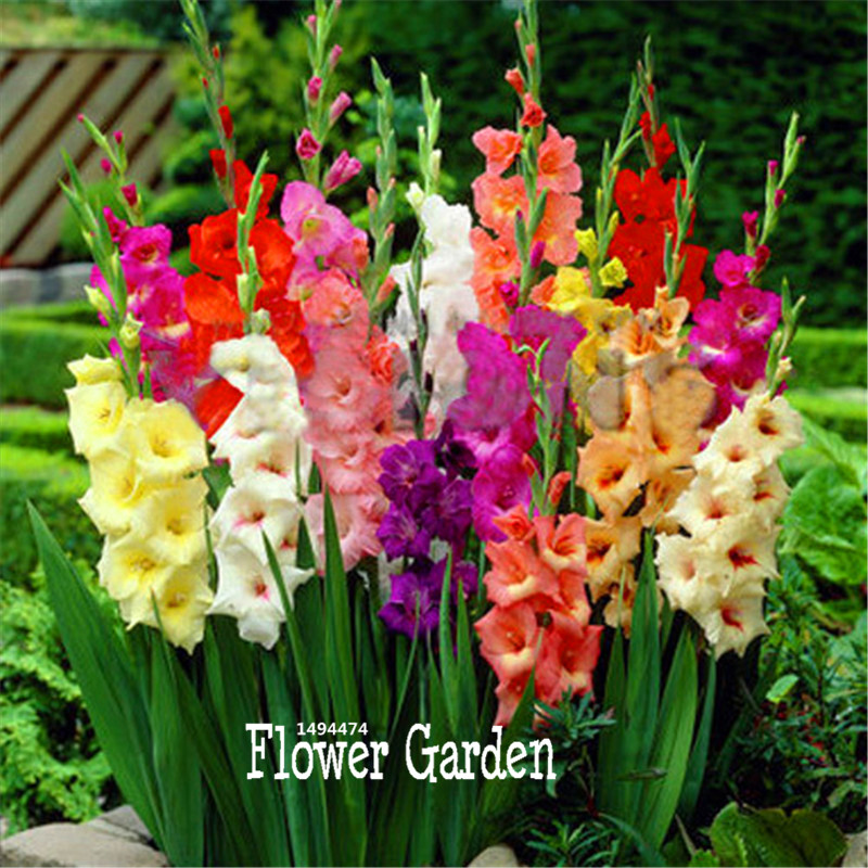 Time Limit Cut Gladiolus Seeds Flower Seeds Perennial
