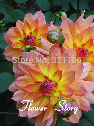 100 Firepot Dahlias Seeds- Beautiful , easy to manage , DIY Home Balcony or Yard Flower, Free Shipping(China (Mainland))