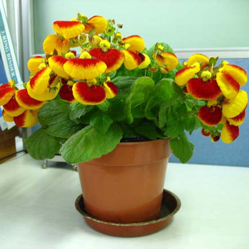 Free shipping Flower seeds calceolaria skgs calceolaria seeds flowering plants indoor balcony bonsai(China (Mainland))