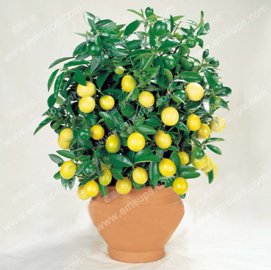 A Package 50 Pcs Citrus limon Tree Seeds Fruit Garden Terrace Seed Orchard Farm Family Potted