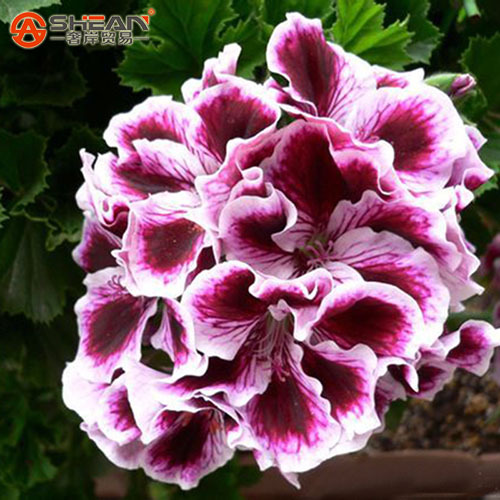 A Package 20 Pieces Maple Leaf Geranium Seeds Perennial Flower Seeds Pelargonium Domesticum Flowers for Rooms