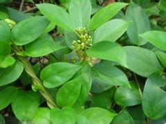 100g Gymnemic extract 25% Gymnema vine extract powder<br><br>Aliexpress